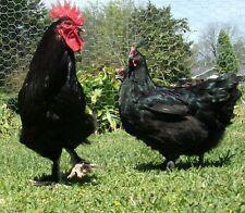 10+ Black Marans Hatching Eggs