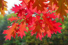 3  Red Oak Trees 1-2ft Tall Quercus Rubra Hedging Plants, Bright Autumn Colour