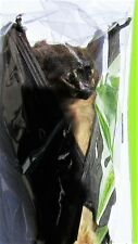 Lesser Asiatic Yellow Bat Scotophilus kuhlii Hanging FAST SHIP FROM USA