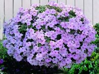 50 Impatiens Seeds Cascade Beauty  Pink Seeds (trailing)