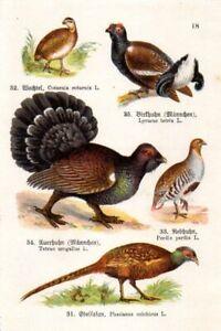 1910  SCHREIBER CHROMO quail, pheasant, partridge, capercaillie, black grouse