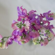 FLOWER SWEET PEA ENCHANTE 30 FINEST SEEDS SPENCER