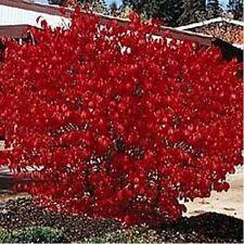 Burning Bush- 50 Seeds - - Bogo 50% off Sale
