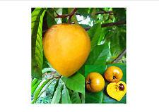Lucuma Nervosa Egg Yolk Fruit Seeds, 10 PC