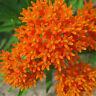 30x/Bag Schmetterlingspflanze Seidenpflanze Orange-Samen-tuberosa-Seeds Asc W3L8