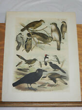 1878 STUDER COLOR BIRD Print/BUZZARD, OWL, FALCON, WHIPPOORWILL, JAY, 16 types