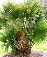 10 Samen Sabal minor, Zwerg Palmetto Palme, cabbage palm, -15°C.