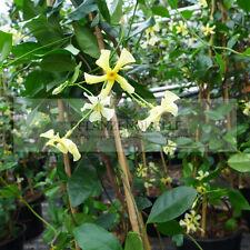 Sternjasmin Trachelospermum Star of Toscane winterhart Jasmin duftend 70 - 90 cm