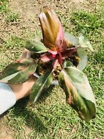 RARE pink princess philodendron Aroid Plant variegated houseplant #4
