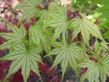 Acer Palmatum reticulatum-Raro abigarrada - 8 semillas