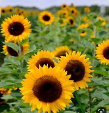 25 Sunflower Seeds, Heirloom Sunflower Seeds, Grow sunflowers