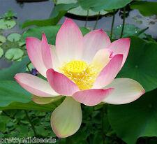 Nelumbo Nucifera  Sacred Lotus Flower bean of India Pond water lily 10  seeds