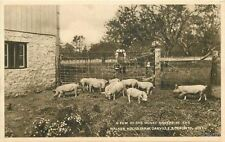1920s Farming Agriculture Pigs Walker House Farm Oakville Canada 5864