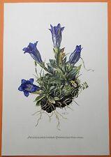 Anglica (Gentiana clusii), stengelloser anglica azul Fingerhut impresión en color 1955