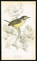 1853 Great-Headed Tody Flycatcher, Hand-Colored Antique Ornithology Print