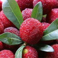 Waxberry Tree Bonsai Seeds Myrica Rubra Seeds Sweet Succulent Juicy Fruit Seeds