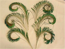 6 Curled Peacock Sword Fern Feathers - US Seller