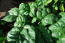 200 graines EPINARD GEANT ANCIEN(Spinacia Oleracea GIANT NOBLE)K23 SPINACH SEEDS