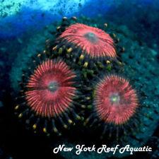 New York Reef Aquatic - 0611 G5 Nyra Pinky Pie Zoanthid, Zoa, Wysiwyg Live Coral