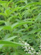 Pianta di Citronella Lippia repellente zanzare vaso14 Piante Aromatiche Erbe