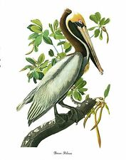 """1978 Vintage AUDUBON BIRDS """"BROWN PELICAN"""" Color Art JUMBO Lithograph"""