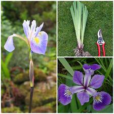 Iris versicolor-Nord Pavillon Bleu-Pond marginal BOG jardin plante frontière