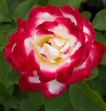 Double Delight Hybrid Tea Rose Seeds - Fantastic Frangrance- Climbing -10 Seeds