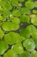 6x Amazon Frogbit (LIVE Floating Plants) Limnobium laevigatum/Fish/Shrimp/Snails