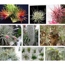 AM_ 100Pcs Tillandsia Air Spanish Moss Seeds Rare Plant Garden Bonsai Home Decor