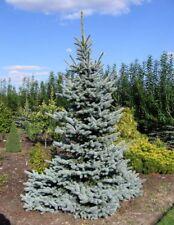 Picea pungens Glauca in 9cm pot ideal bonsai subject Colorado Spruce