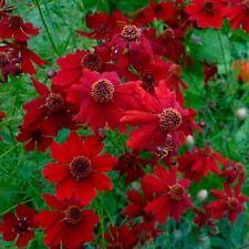 F0057 Coreopsis Red Dwarf x100 seeds