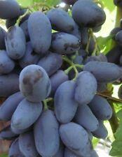 Rare Baykonur  grapes 3 fresh cuttings