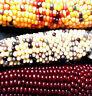 Regenbogen-MAIS (Rainbow) süßer Mais (bot. Zea mays japonica)  auch für Popkorn