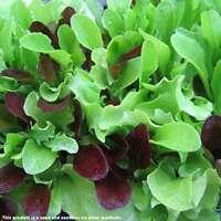 roh und gekocht Chinesische Gemüse-Malve als Salat Spinat Malva verticillata