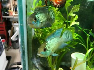 8 Electric Blue Acara unisexed (3/4-1 inch) (8fish)