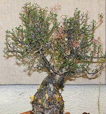 Pachycormus discolor, Elephant Tree Caudiciform trunk caudex bonsai seed 5 SEEDS