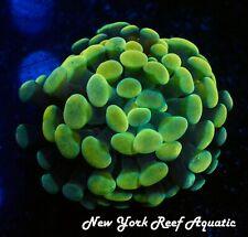 New York Reef Aquatic - 0611 G1 Gold Tip Hammer Wysiwyg Live Coral