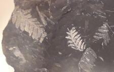 St. Clair PA fossil Fern Neuropteris Fern Fossil EDUCATIONAL plants 1lb 11 oz.