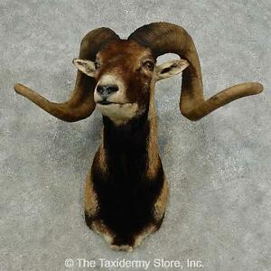 #16876 E | Corsican Ram Taxidermy Shoulder Mount For Sale