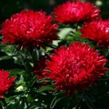 Aster -Milady -Scarlet - 50 Seeds- BOGO 50% off SALE