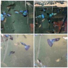 Hawaiian blue /green Moscow 10 fry babies