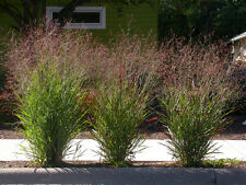 1000 SWITCHGRASS Tall Panic Switch Grass Panicum Virgatum Red Flower Seeds +Gift