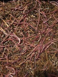 1 Lbs. red wiggler Composting worms