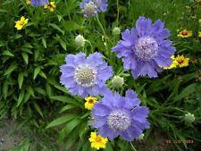 Jumbopflanze, Schmetterlingsblume Blue Papillon, zauberhaft und robust, Scabiose