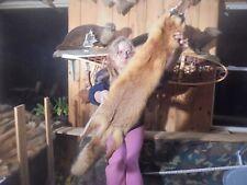 "45""#I Adirondack Mt Fancy Cherry Red Fox Pelt/Taxidermy/Fur/Coyote /Fox/Beaver #1"