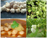 Chickpea Seeds White LARGE NON STARTCHY Spanish Gourmet Garbanzo