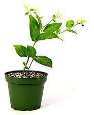 Jasminum Sambac ~Single~ Arabian Jasmine Live Plant Home and Grarden New