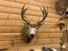 Shoulder Mount 11 Point Mule Deer Real Antler Whitetail Buck Taxidermy Wd57