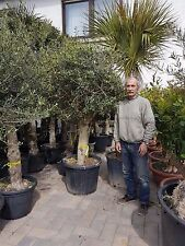 Olivenbaum Europea Hojiblanca Stammumfang ca. 37cm