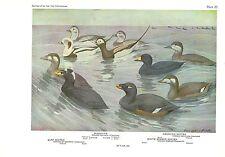 """1936 Vintage FUERTES BIRDS #20 """"OLDSQUAW, 3 SCOTER DUCKS"""" Color Plate Lithograph"""
